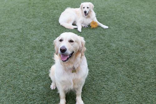Lost Pets Southern California Golden Retriever Rescue