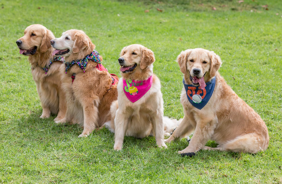 Golden Retrievers – The History and Care